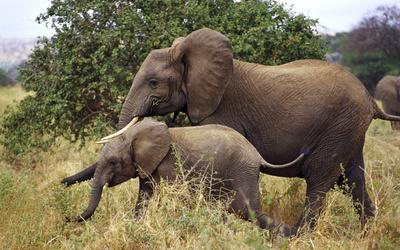 Elephants [3] wallpaper