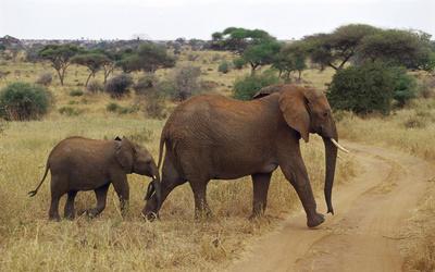 Elephants [2] wallpaper
