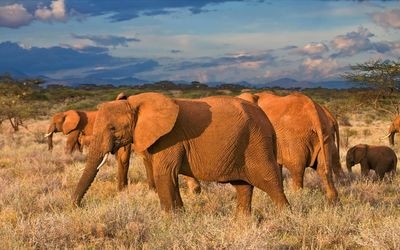 Elephants walking in the sunset wallpaper