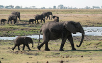 Elephants with calves wallpaper 1920x1200 jpg