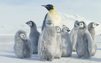 Emperor penguin wallpaper 1920x1080 jpg