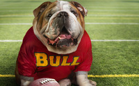 English Bulldog [3] wallpaper 1920x1080 jpg