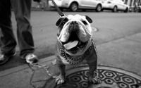 English Bulldog wallpaper 2560x1600 jpg