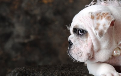 English Bulldog with pearls wallpaper