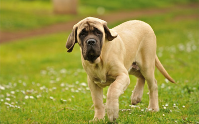 English Mastiff wallpaper