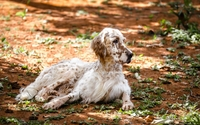 English Setter wallpaper 1920x1200 jpg