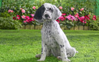 English Setter Puppy wallpaper 1920x1080 jpg