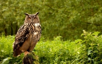 Eurasian Eagle Owl wallpaper 1920x1200 jpg