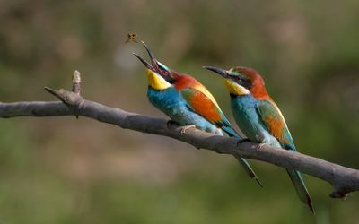 European bee-eater wallpaper