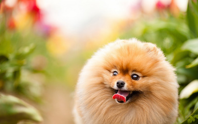 Excited pomeranian wallpaper