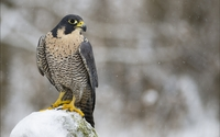 Falcon on a snowy rock wallpaper 1920x1200 jpg