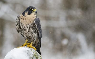 Falcon on a snowy rock wallpaper