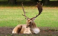 Fallow Deer wallpaper 1920x1200 jpg