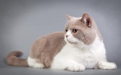 Fat cat wallpaper