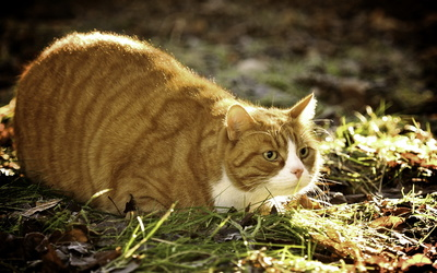 Fat ginger cat wallpaper