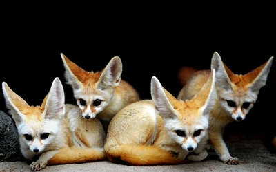 Fennec foxes wallpaper