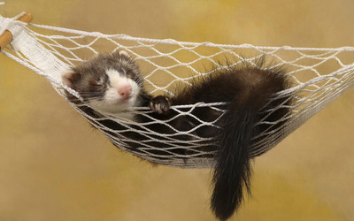 Ferret sleeping in a hammock wallpaper