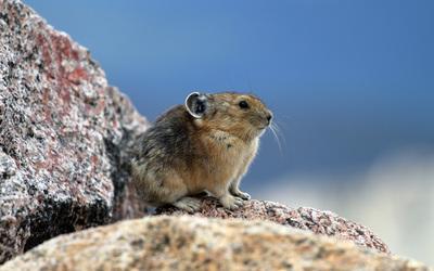 Field mouse wallpaper
