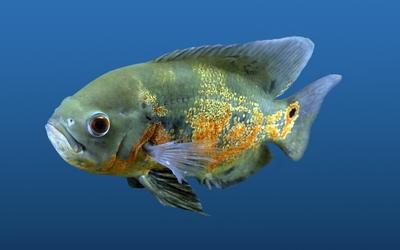 Fish [3] wallpaper