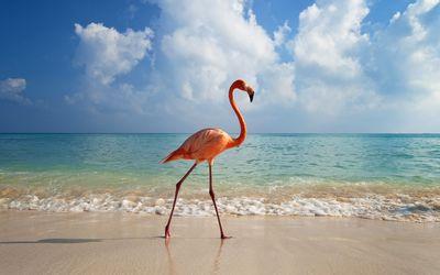 Flamingo taking a walk on the beach wallpaper