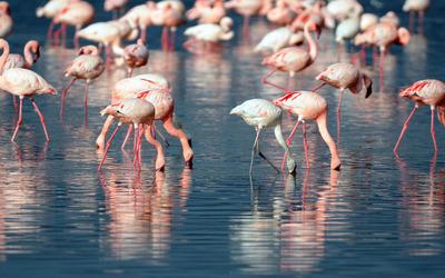 Flamingoes wallpaper