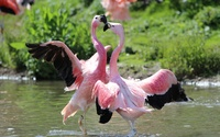 Flamingoes fighting in the water wallpaper 2560x1600 jpg