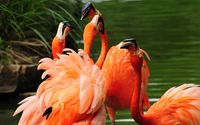 Flamingos [3] wallpaper 2560x1600 jpg