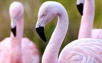 Flamingos [2] wallpaper 2560x1600 jpg