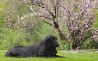 Flat-Coated Retriever resting near a blossomed spring tree wallpaper 1920x1200 jpg