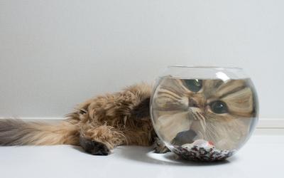 Fluffy cat head viewed through a fish bowl wallpaper