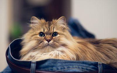 Fluffy cat in jeans wallpaper