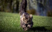 Fluffy cat sunning in the grass wallpaper 1920x1200 jpg