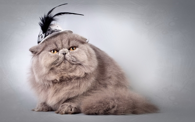 Fluffy cat with a feathered hat wallpaper