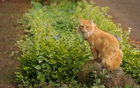 Fluffy ginger cat up on a rock wallpaper 1920x1200 jpg