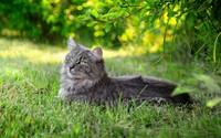 Fluffy gray cat resting wallpaper 2560x1600 jpg