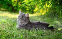 Fluffy gray cat resting wallpaper 2560x1600 jpg