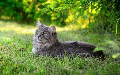 Fluffy gray cat resting wallpaper