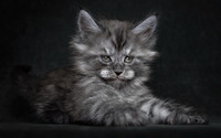 Fluffy gray kitten wallpaper 1920x1200 jpg