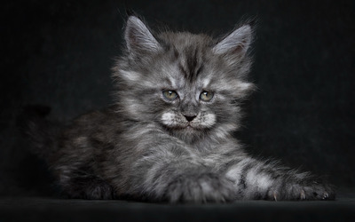 Fluffy gray kitten wallpaper