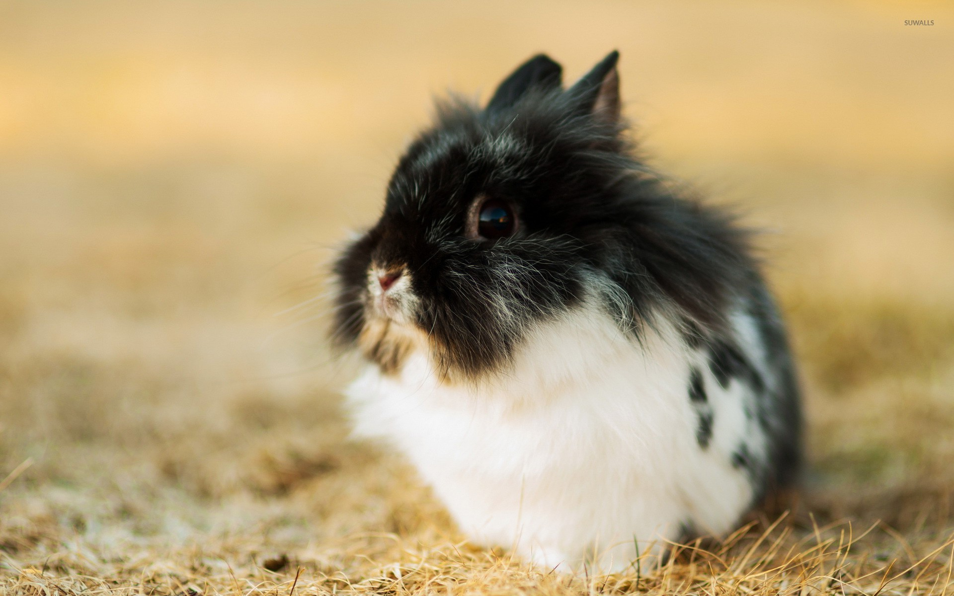 Fluffy rabbit wallpaper