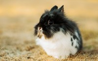 Fluffy rabbit wallpaper 1920x1200 jpg