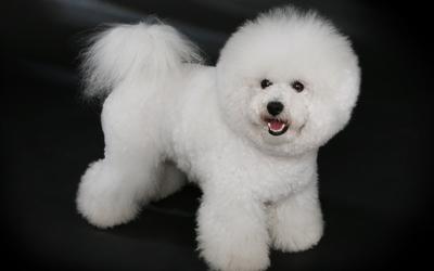 Fluffy white dog wallpaper