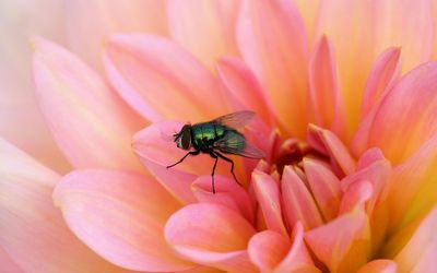 Fly on a pink flower wallpaper
