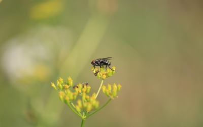 Fly on a yellow wildflower wallpaper