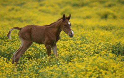 Foal on a yellow field wallpaper