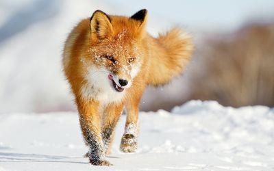 Fox [8] wallpaper