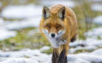 Fox [15] wallpaper 1920x1200 jpg