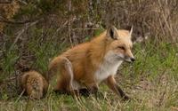 Fox [16] wallpaper 2560x1600 jpg