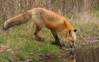 Fox [9] wallpaper 2560x1600 jpg