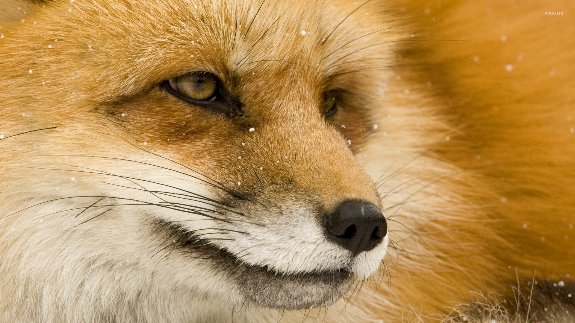 Fennec Fox Behaviour The Fennec Fox has uncharacteristic behaviours compared to other foxes While foxes are normally solitary creatures the Fennec Fox forms groups